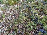 Alaskan blueberries, cranberries& lichen