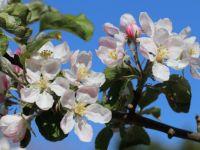 Apple blossom challenge