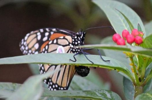 Monarch Laying Her Egg