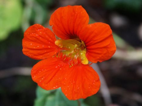 Nasturtium - 10th Sep 2003