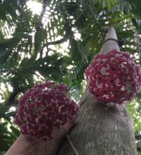 Hoya blossoms in a palm tree