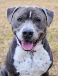 GORGEOUS BLUE FRECKLED MALE PIT MIX (Va Beach Animal Care & Adoption Center)