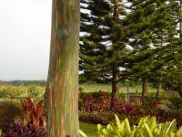 Rainbow Tree (Eucalptus - Hawaii)