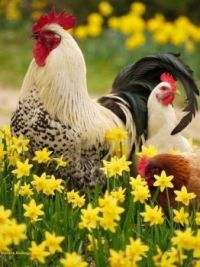 Rooster & hens among yellow flowers