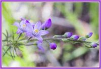 A West Australian Wildflower