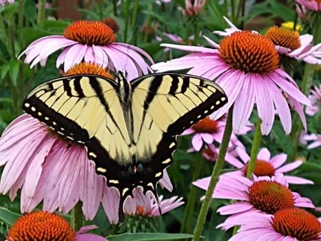Swallowtail on cone flower by Diane Davidson