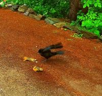Action picture - swooping in for peanuts