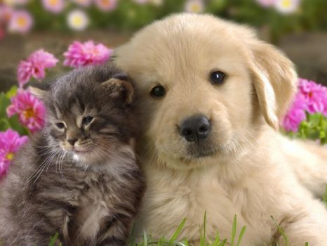 Love-Kitten-Golden-Retriever
