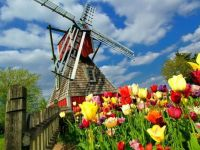 Windmill Among The Tulips