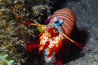 Mantis Shrimp Medium