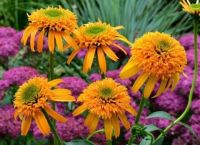 The very lovely Echinacea 'Secret Glow'