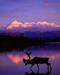 Caribou at dusk.