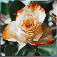 růže ........