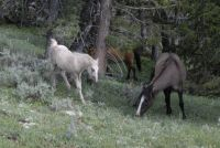 PRYOR MOUNTAIN HORSES  ENCORE & FELDSPAR