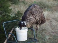 Emu Stealing Cat Food