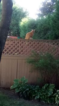Grand cat Pete on the fence