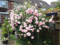 My Bonica Rose (22 June 2021)