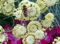 Hover fly on santolina