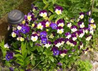 """Vintage photo' of my Pansies (Viooltjes)"