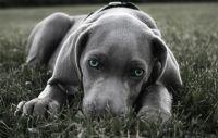 blue-eyed-weimaraner-puppy
