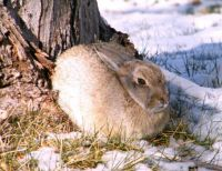 One Cold Cottontail