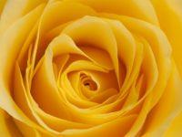yellow rose  close up -hard