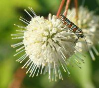 Burronbush with Ailanthus webworm moth