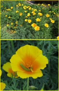 Californian Poppies ...and visitor!