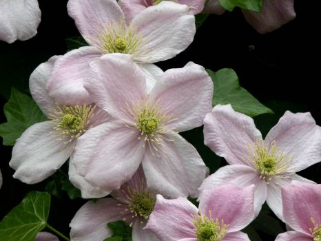Clematis 'Montana' - 13th May 2004