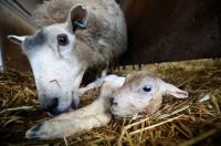 Spring lambing in Wales