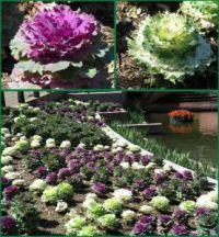 Ornamental cabbage display.