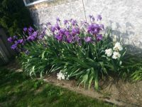 Irises behind shed.