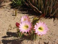 Arizona cactus #2