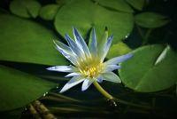 Botanic garden pond lily