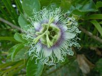passionflower, Madagascar