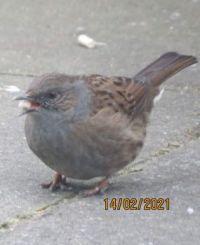 Dunnock (Hedge Accentor), with a full beak