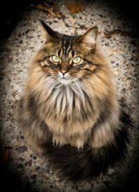 MONTANA CAT
