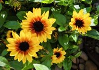 Sunflower Blossoms