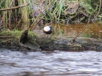 Dipper on River Nairn, Scotland