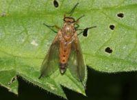 Marsh Snipe fly - Rhagio tringarius (gele snipvlieg)
