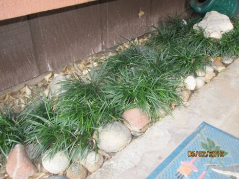 Mondo grass rock garden in my doorway