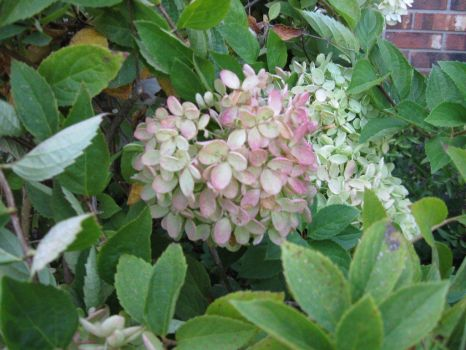 hydrangea, changes to soft colors in the fall