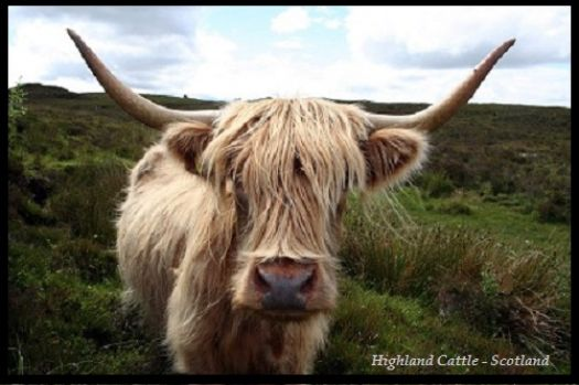 Highland cattle - Scotland