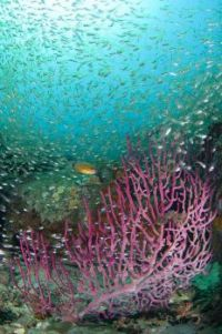 Seafan with school of silvery fish, Mayne Rock, West Coast of Sabah, Borneo,