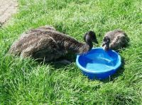 Baby  Emus Cindy and baby bathing