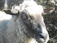 Sea Ranch Sheep