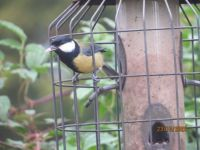 Great tit squeezing through the cage.