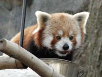 Red Panda tate at National Zoo, DC