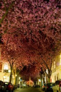 Blooming Cherry Trees--Bonn, Germany