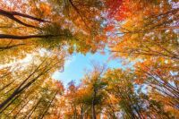 canopy of beech trees #3 Autumn